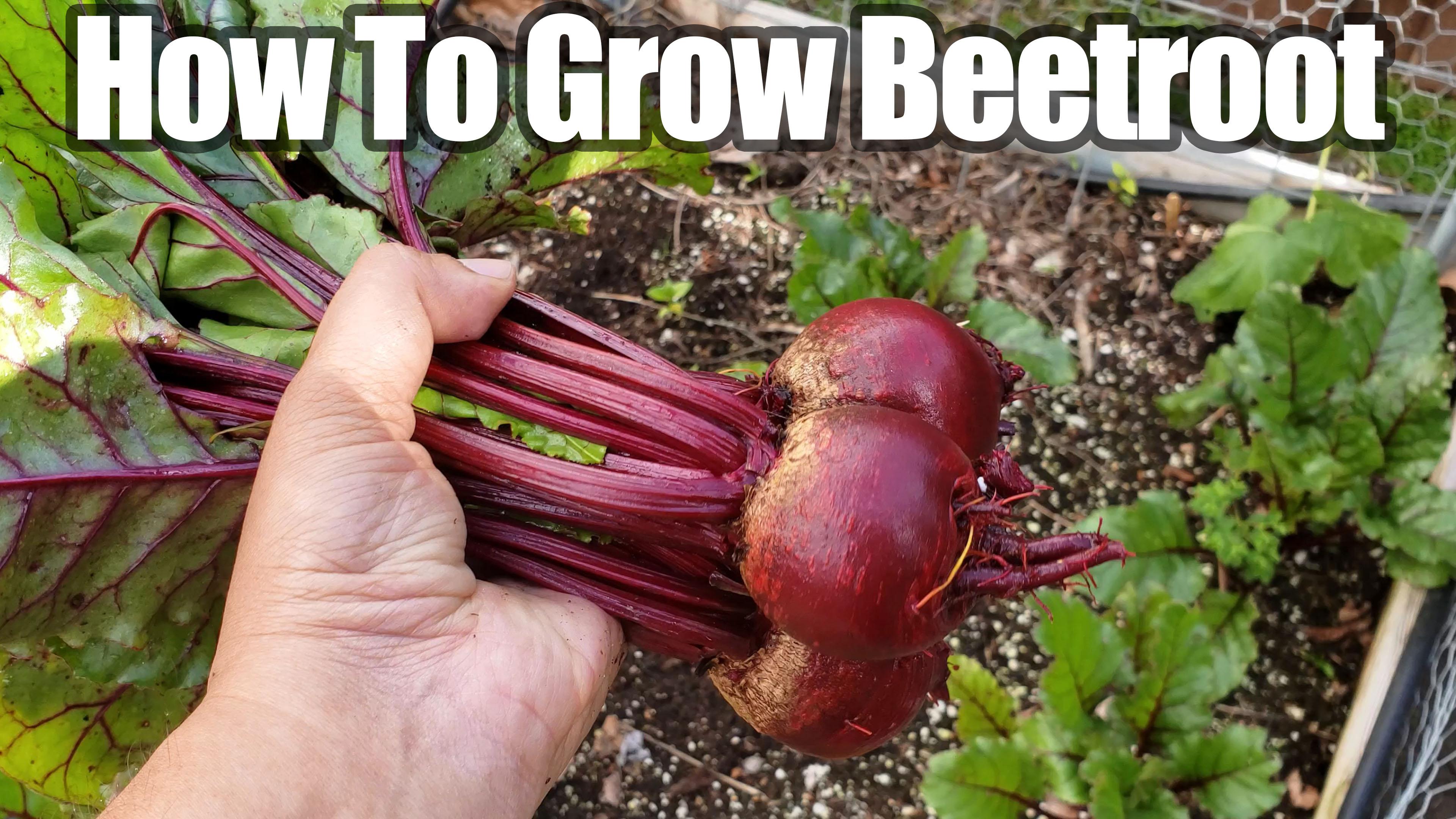 Growing Beetroot or Beets In Your Vegetable Garden – How To Grow Beet or Beetroot