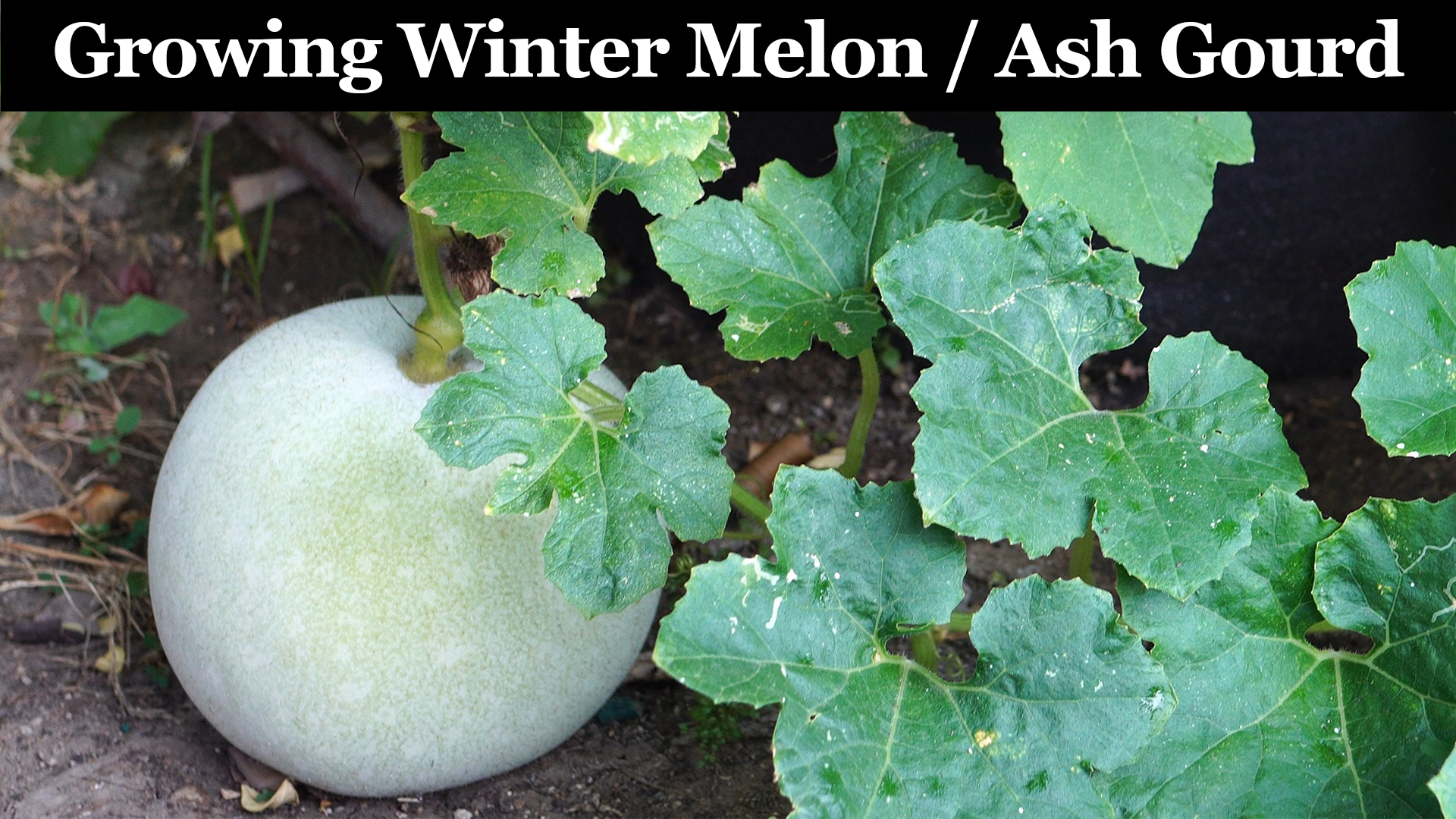 How To Grow Winter Melon Or Ash Gourd In Grow Bags