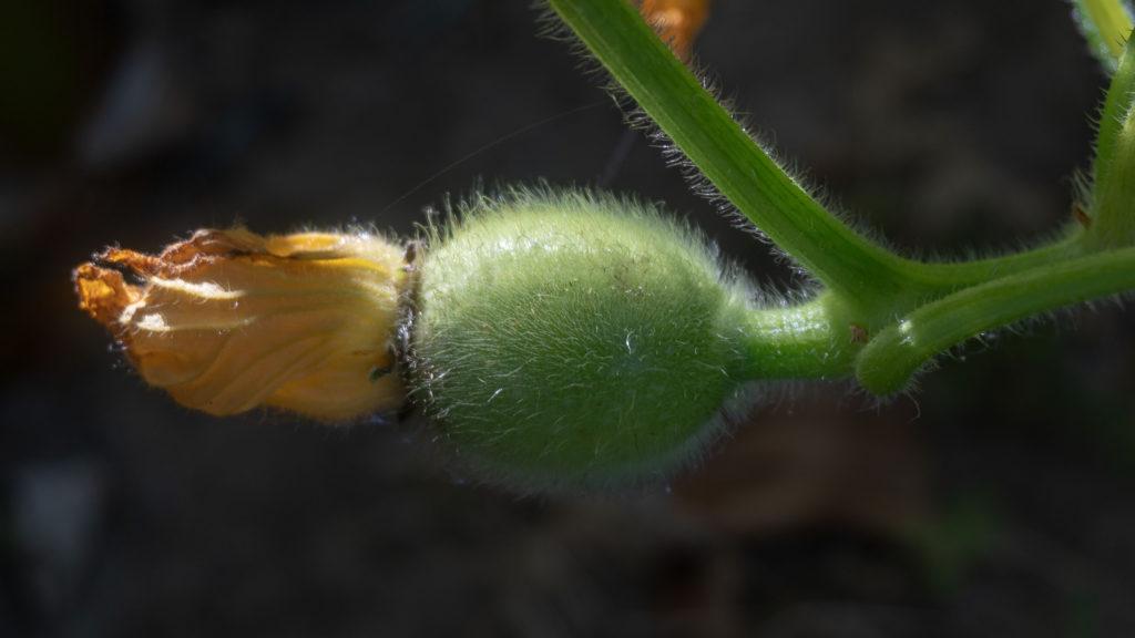 Female gourd flower