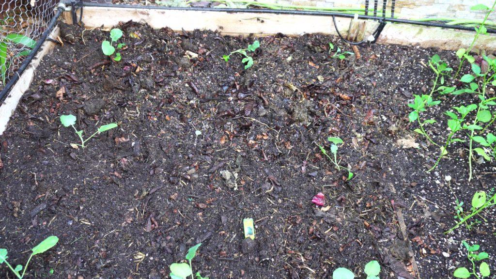 Transplanted seedlings into raised beds.