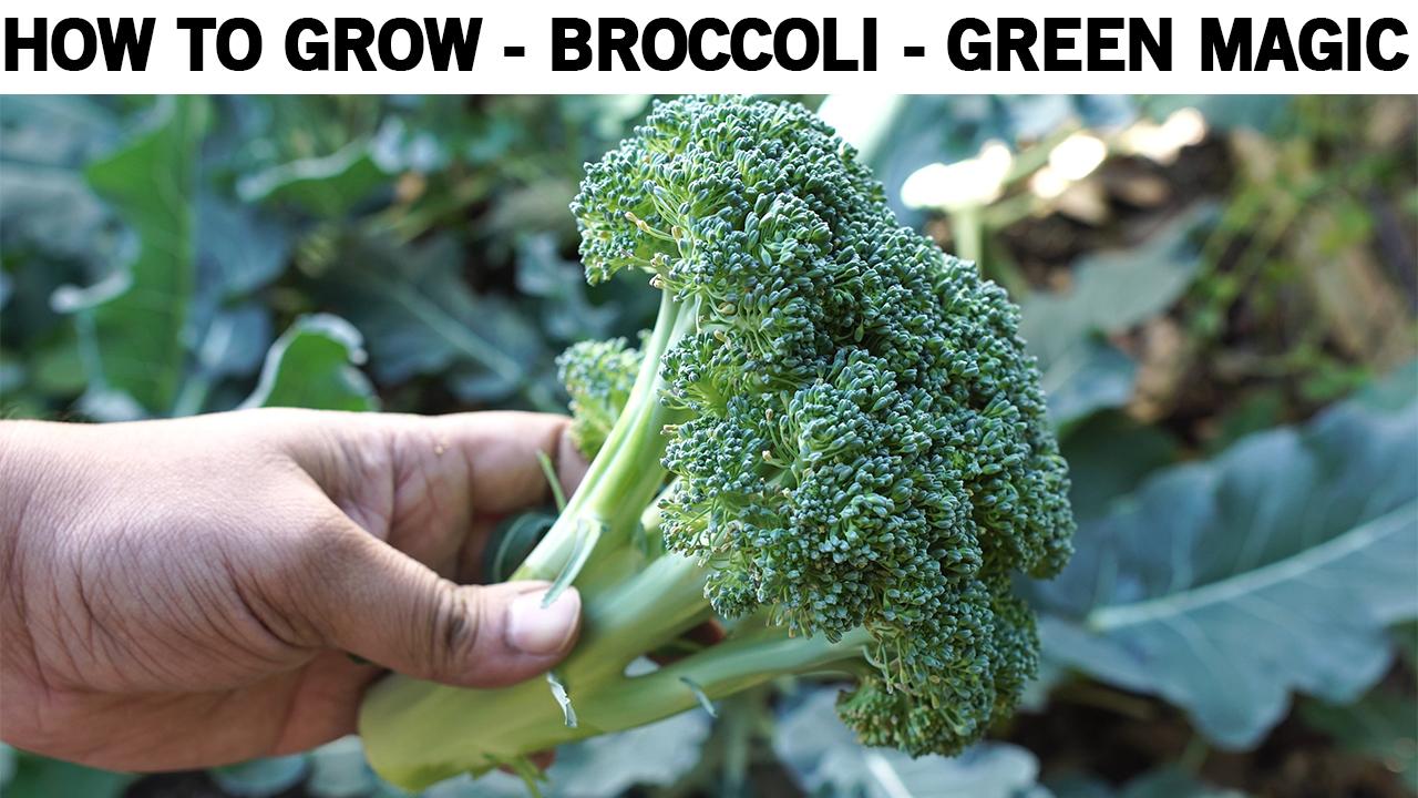 How To Grow Broccoli – Green Magic Hybrid Broccoli