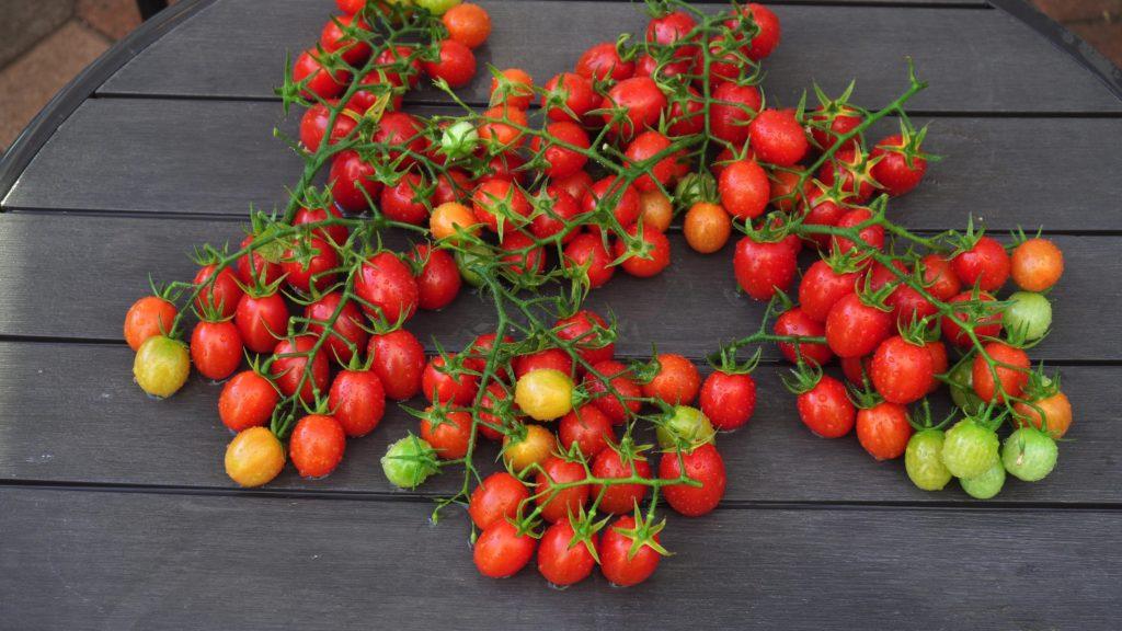 Italian Roma Tomatoes