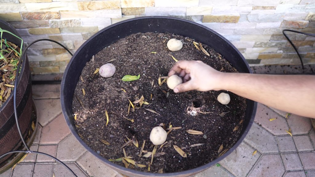 Planting seed potatoes.