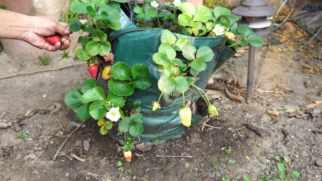 Strawberries emerge