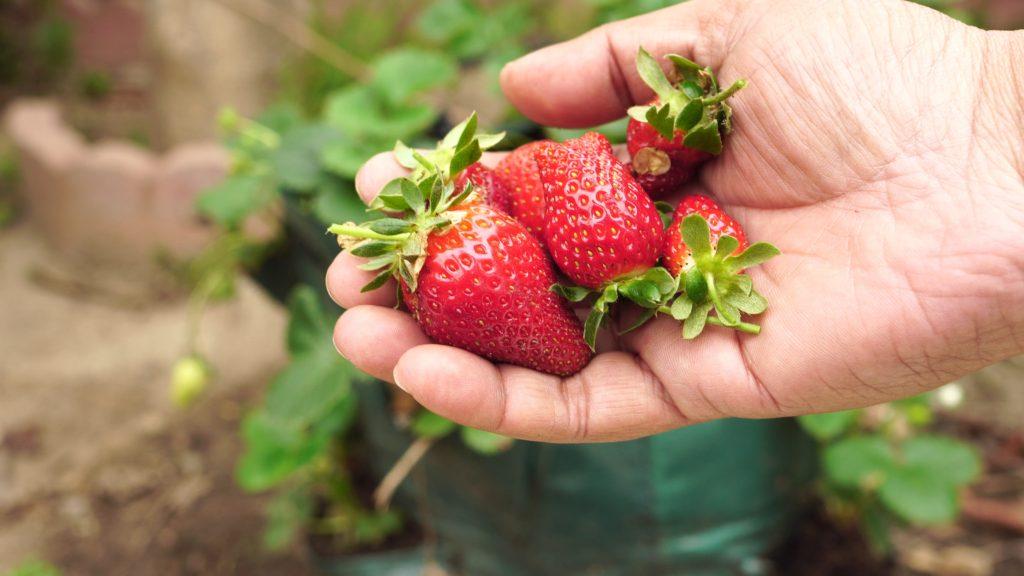 Freshly plucked strawberries