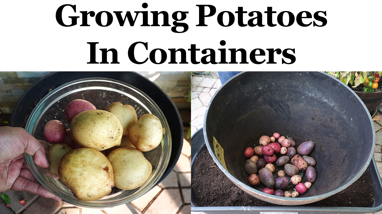 Growing Potatoes in Containers or Pots