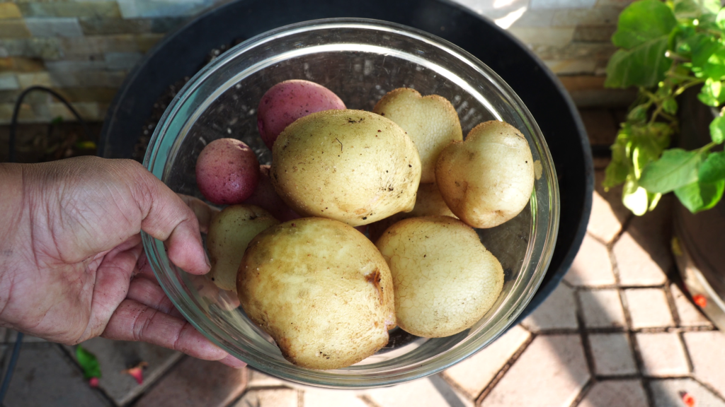 Yukon Gold potato harvest