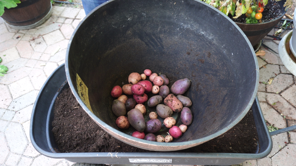 Purple and red potatoes harvest
