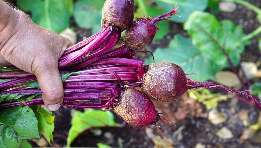 Beets grown in shade
