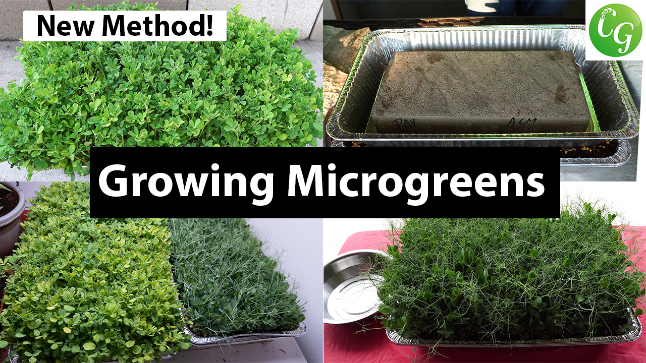 How to Grow Microgreens from start to end – Complete Microgreens Growing Guide