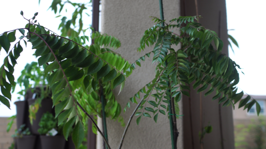 Curry Leaf Plant growing in shade