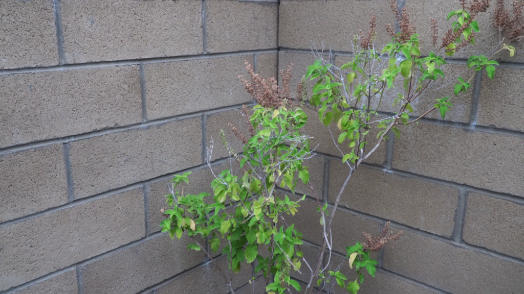 Basil plant growing in full sun