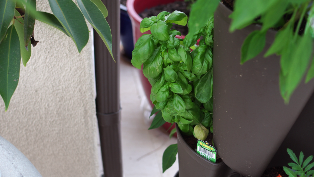 Basil plant growing in shade