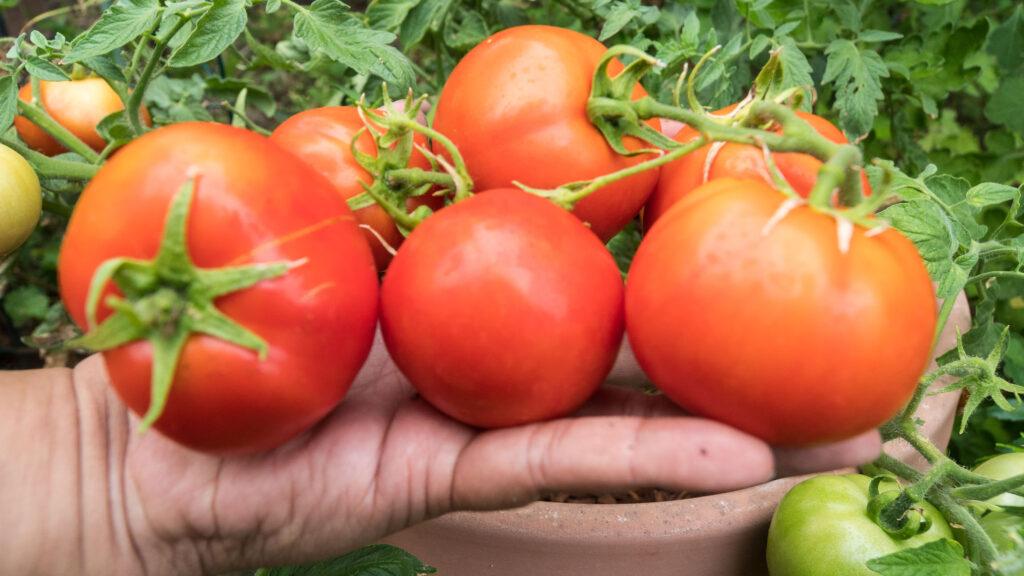 Red pride tomato