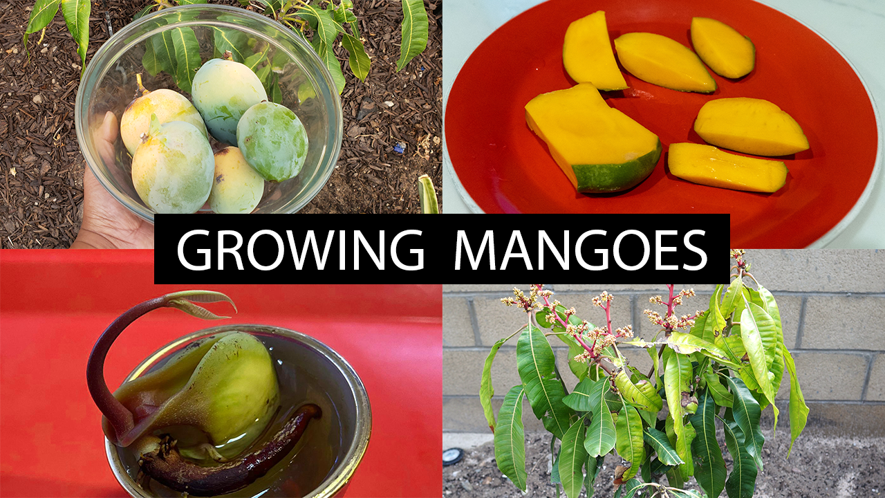 The Joy Of Growing Mangoes – How To Grow Mango Trees.