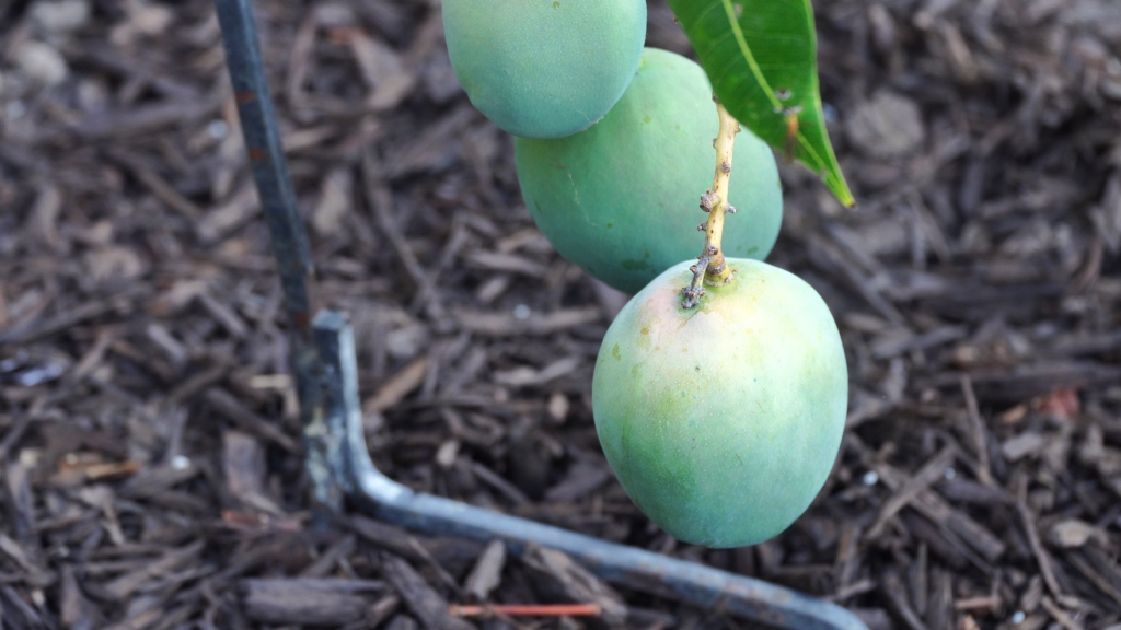 Mango fruits becoming larger