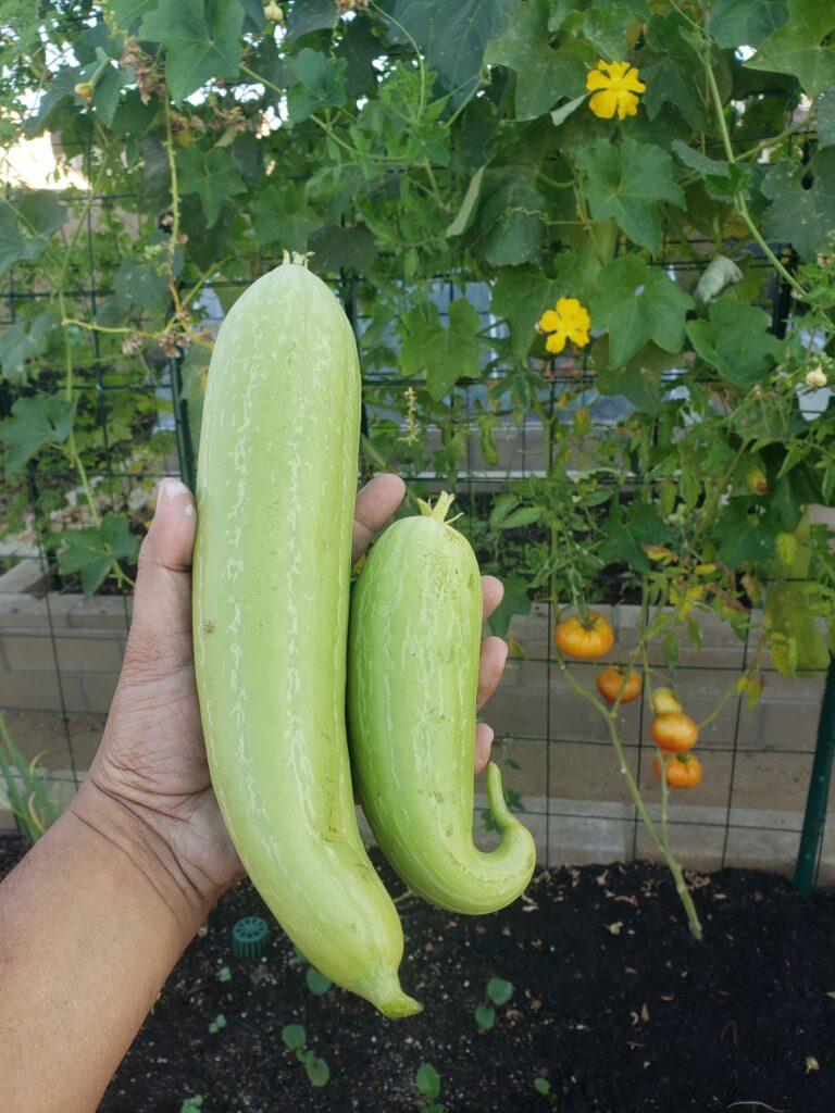 Luffa or Sponge gourd