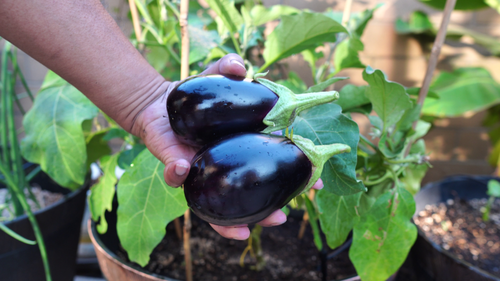 Black Beauty Eggplants