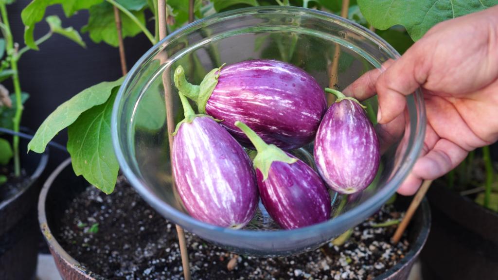Indian Eggplants