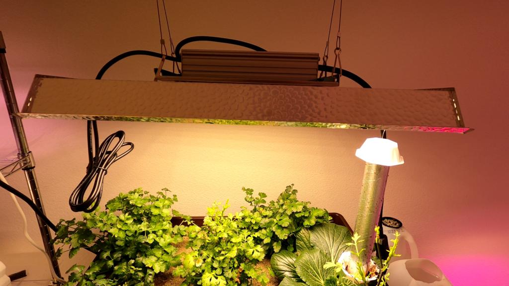 Cilantro growing indoors under grow lights