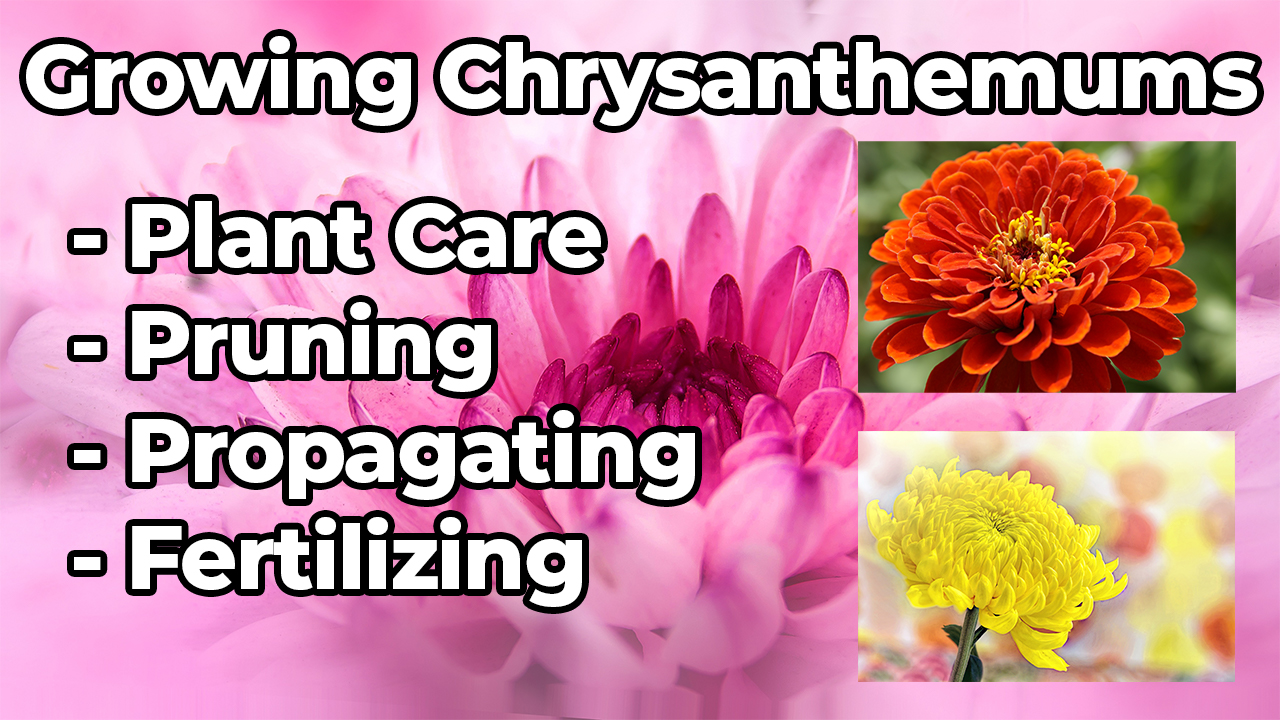 How To Grow Chrysanthemum/Mums – Chrysanthemum Plant Care, Propagation & Chrysanthemum Growing Tips