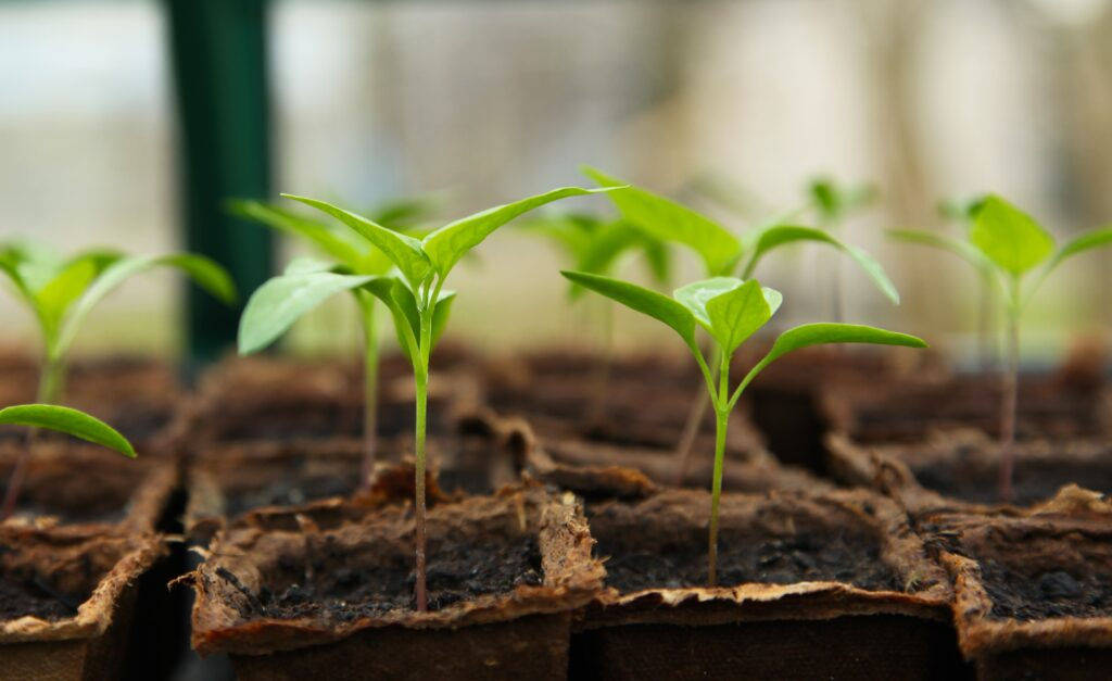 Seedlings growing indoors