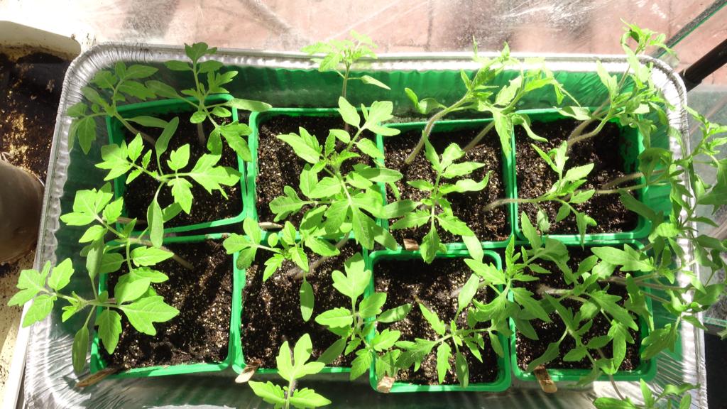Seedlings ready for up-potting
