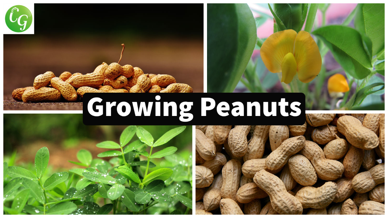 How to grow Peanuts in your home garden