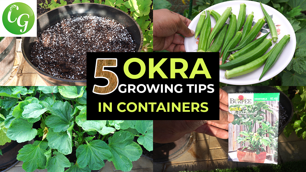 Top 5 Okra Growing Tips – How to grow okra in containers and get LOTS of Okra – Baby Bubba Okra