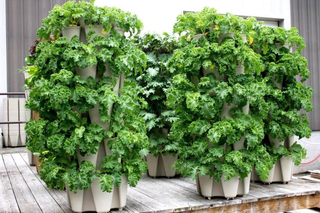Kale leaf planter