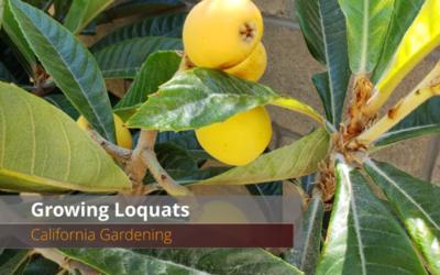Growing Loquat Fruit – How to Grow the Best Loquats in Your Garden!