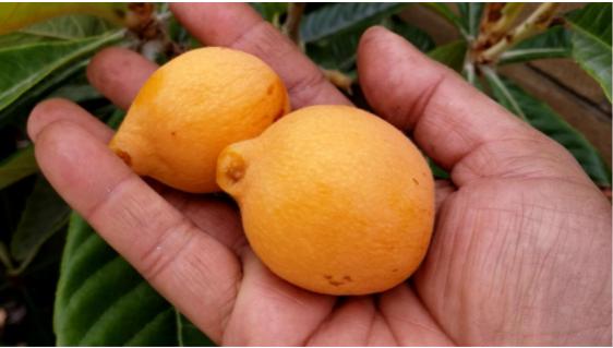 Hand-picked loquat