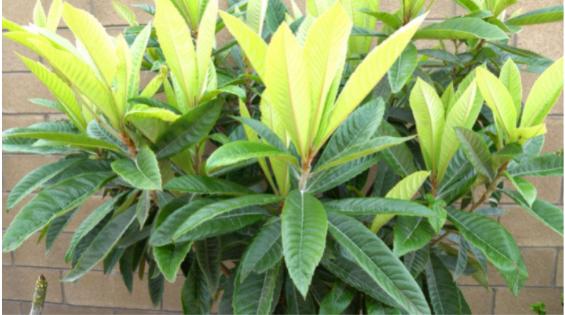 Loquat Plant
