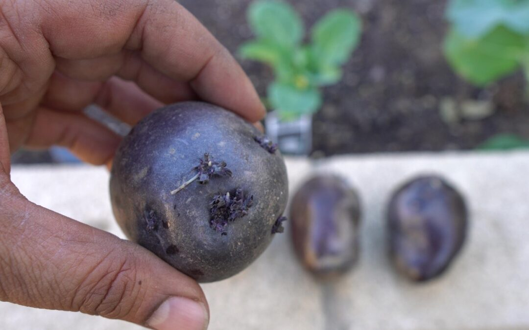 Planting and Growing Purple Potatoes