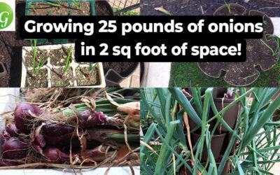 Growing 42 Onions/25 lbs in 2sqft. space!