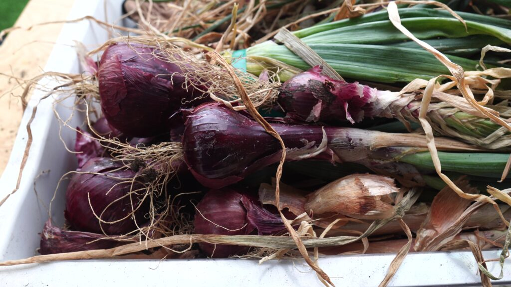 Curing onions for storing