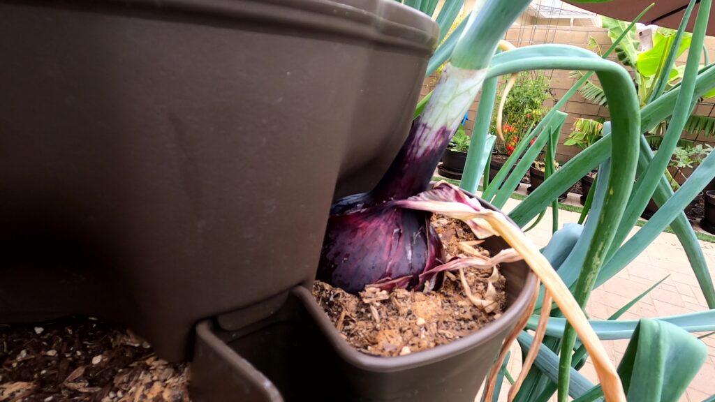 Onions growing bigger